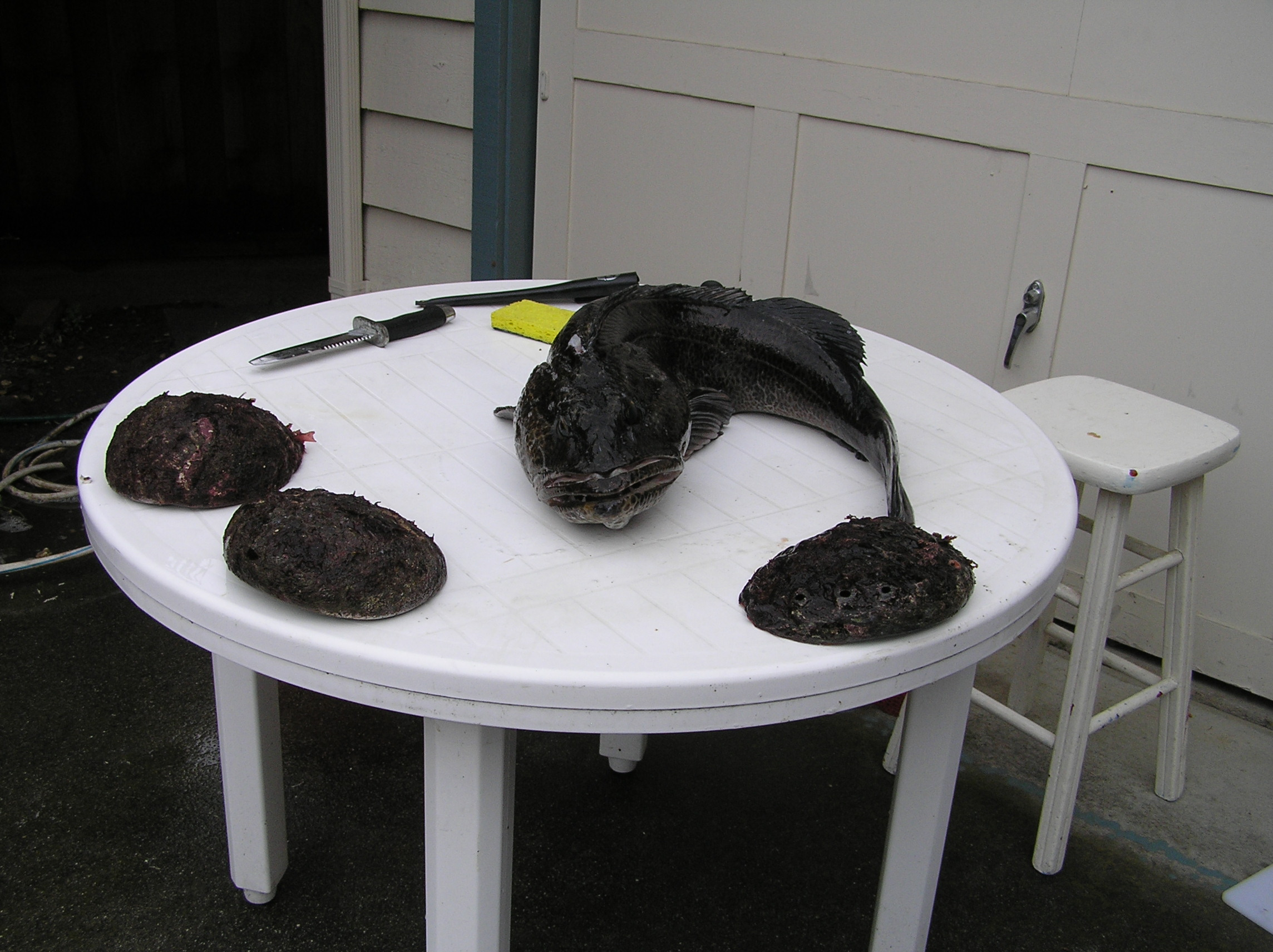 Erik's harvest from the Russion Gulch trip -- three abalones and a big lingcod.